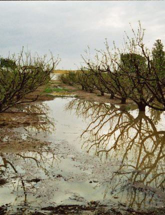 אפרסקים – אהרון ארצי