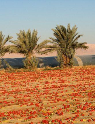 שטח עגבניות בככר סדום – אופנבך רבקה
