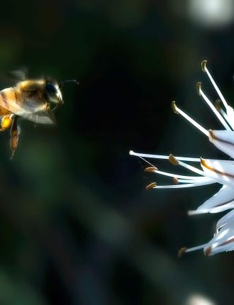 דבורה בשדה בדרכה לנחיתה – אורי אורן
