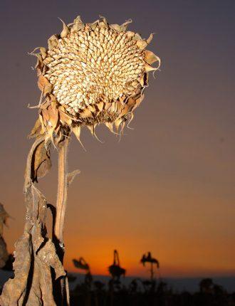 חמניות קמלות באור אחרון בגליל העליון – ארז בן סימון