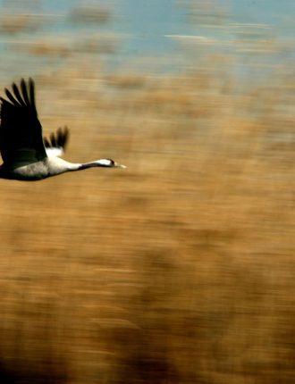 עגור בתעופה – בוידק רונן