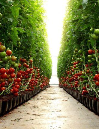 חממת עגבניות – גנתון אריה
