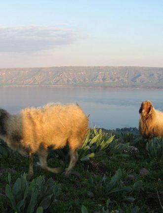 כבשים על רקע הכנרת – וצלר אביהו