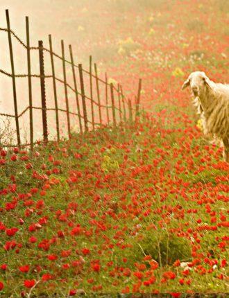 כבשה במרעה אדום – יהודה זעירי