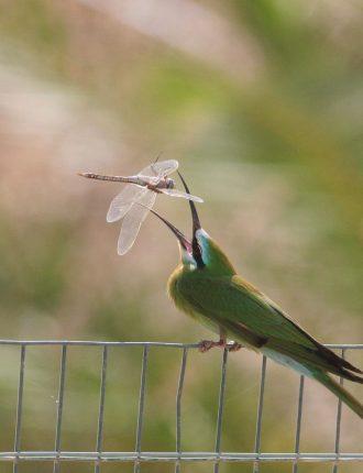 שרקרק ירוק – יונתן מירב