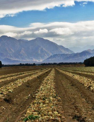 שדות בצל לנצח – סגול יורם