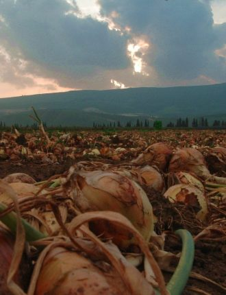 תנובת שדה הבצל – עמוס גל