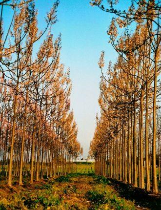 עצי הפאולוניה בפריחה – בינה כהן