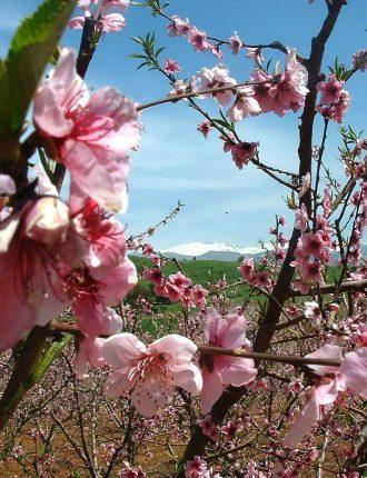 גידול תפוחים במטע של כפר יובל – שלהבת יגאל