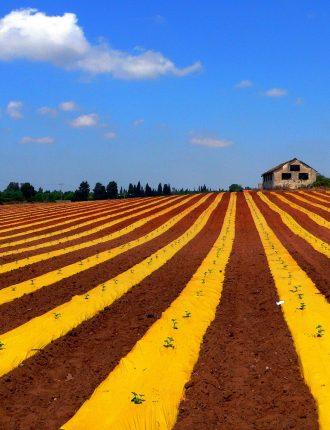 תלמים של אבטיחים – יואב סיני