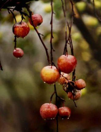 תפוחים אחרונים בגשם – עינת קופילבסקי