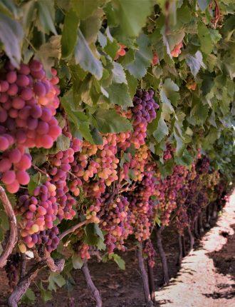 כרם ענבים – ליאור אמסלם